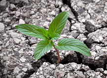 Image of a plant growing in a sidewalk crack