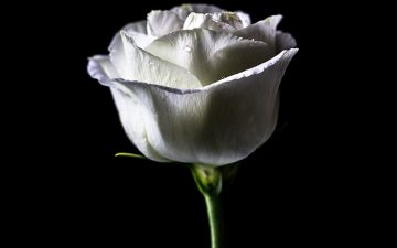 Image of a white rose with a black background
